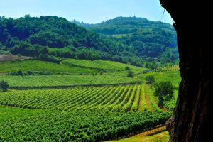 Colli-Berici-DOC-vigne-da-albero