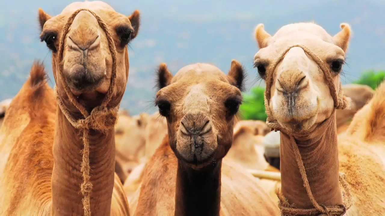 Camel_Market