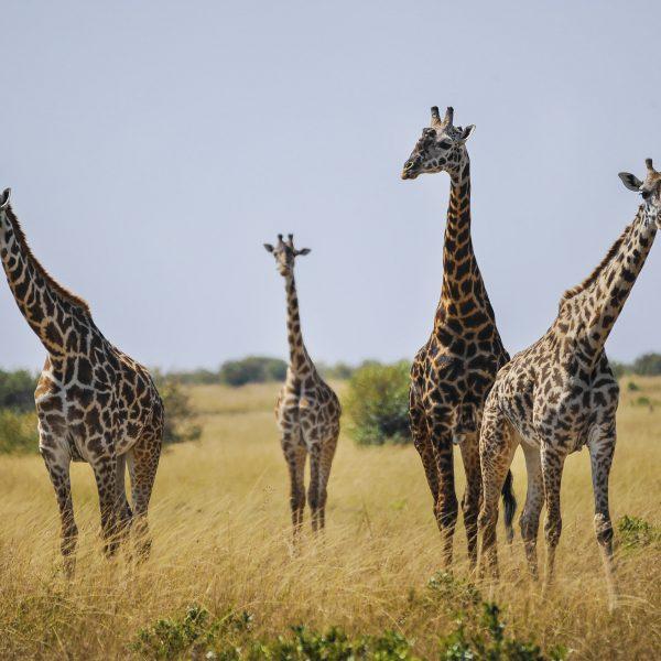 giraffe_5659